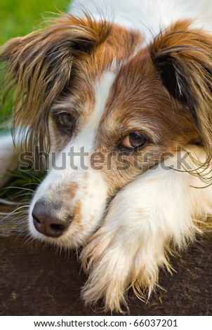 portrait of a beautiful mixed breed collie/spaniel dog - stock photo