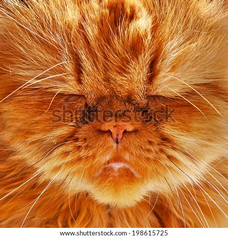 Portrait of a beautiful orange Persian cat  - stock photo