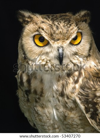 Portrait of a beautiful Owl over a plain backdrop
