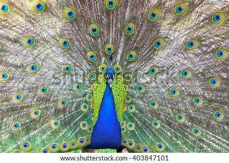 Portrait of a beautiful peacock with feathers out. - stock photo