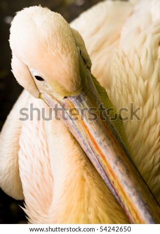 Portrait of a beautiful Pelikan - stock photo