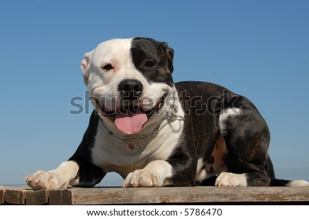 portrait of a beautiful purebred american staffordshire terrier