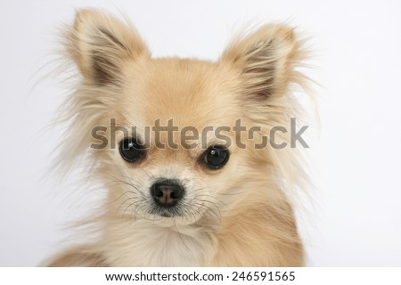 Portrait of a beautiful purebred long hair chihuahua, looking at camera with big eyes - stock photo