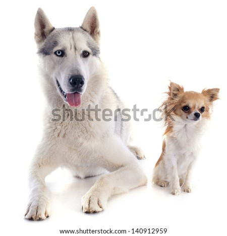 portrait of a beautiful purebred siberian husky and chihuahua