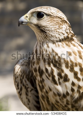 Portrait of a beautiful raptor or bird of prey - stock photo