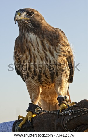 Portrait of a beautiful Red Tailed Hawk or Buteo Jamaicensis - stock photo