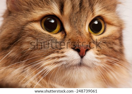 Portrait of a beautiful siberian cat with big yellow eyes close-up - stock photo