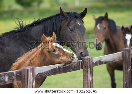 Portrait of a beautiful thoroughbred foal with mother