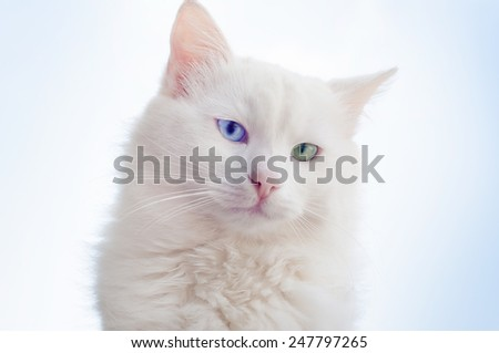 Portrait of a beautiful white cat with different eyes against the sky ... - stock photo