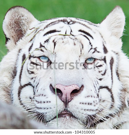 portrait of a beautiful white tiger outdoor - stock photo