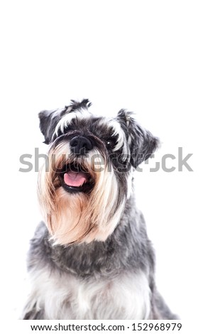 Portrait of a beautifully groomed schnauzer sitting looking at the camera with an alert expression, isolated on white