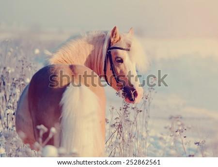 Portrait of a beige pony in the field in the winter. Beige little horse. Stallion on walk. - stock photo