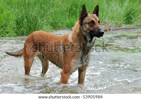 portrait of a belgian sheepdog malinois in a river
