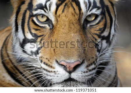Portrait of a Bengal Tiger. - stock photo