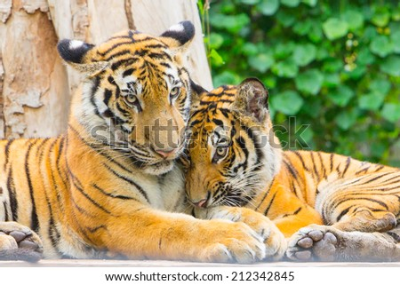 Portrait of a bengal tiger - stock photo