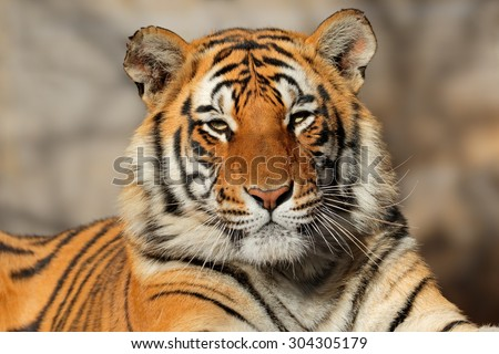 Portrait of a Bengal tiger (Panthera tigris bengalensis)