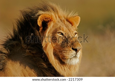 Portrait of a big male African lion (Panthera leo), Kalahari, South Africa - stock photo