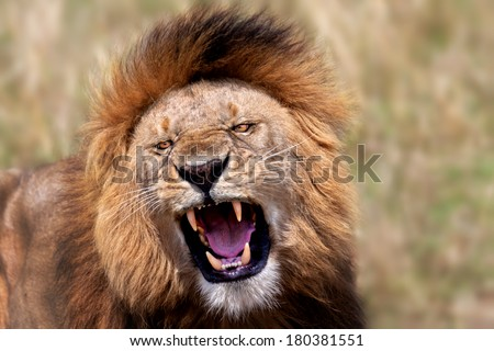 Portrait of a big roaring Lion in Masai Mara, Kenya - stock photo