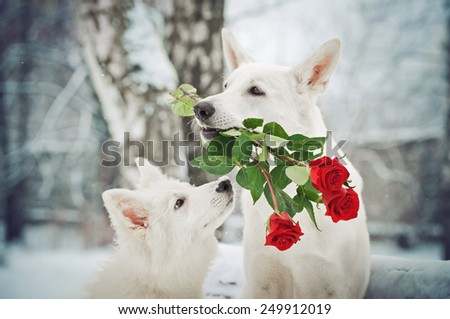 portrait of a Big Shepherd and a cute little puppy with red roses in the snow - stock photo