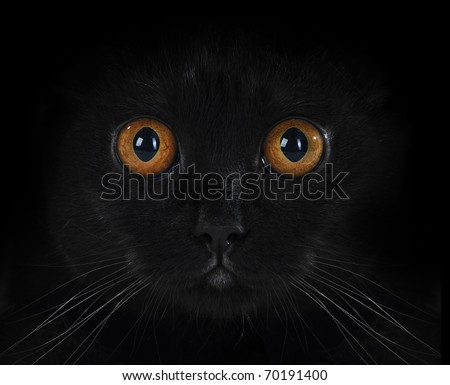 portrait of a black British cat with orange eyes on black background