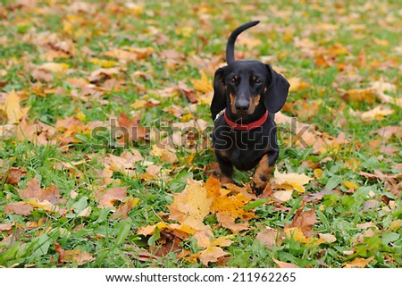 Portrait of a black dachshund running in the park in autumn