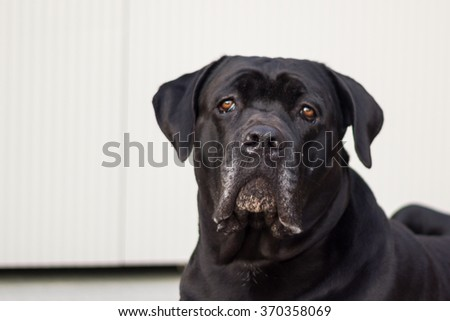 Portrait of a black dog Cane Corso.The Cane Corso is a large Italian Molosser, which is closely related to the Neapolitan Mastiff.  - stock photo
