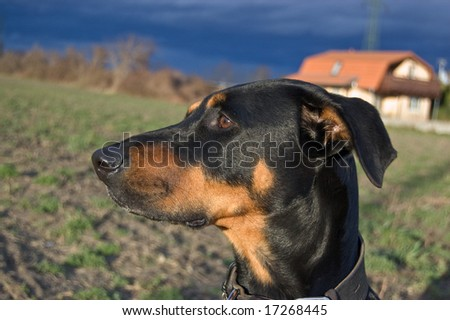 Portrait of a black dog on a stormy evening - stock photo