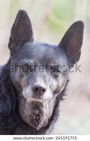 portrait of a black dog on the nature - stock photo