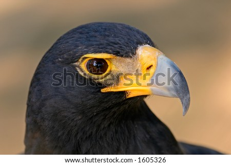 Portrait of a black eagle (Aguila verreauxii), South Africa - stock photo