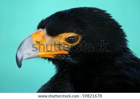 Portrait of a Black Eagle with a large curved or hooked beak - stock photo