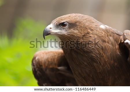 Portrait of a black hawk - stock photo