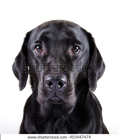 Portrait of a black Labrador Retriever (isolated on white)