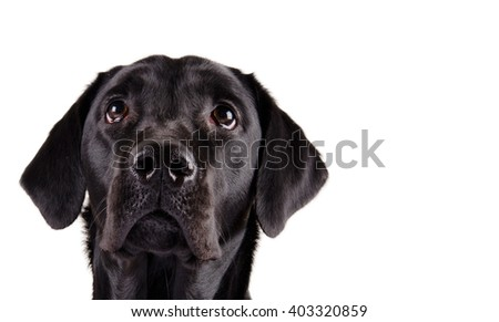 Portrait of a black Labrador Retriever looking up (isolated on white, with copy space on the right for your text)
