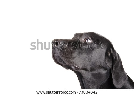 Portrait of a black Labrador Retriever looking up (isolated on white, with empty space for your text) - stock photo