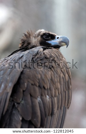 portrait of a black vultures - stock photo