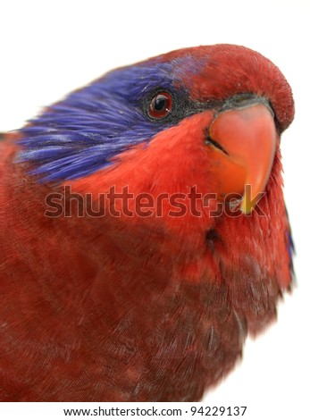 Portrait of a black-winged Lory