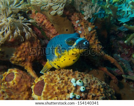 Portrait of a Blackspotted Puffer Fish against backdrop of sponges, soft-coral and tunicates