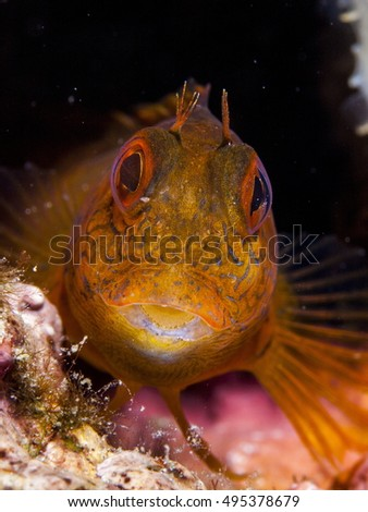 Portrait of a blenny fish in its lair