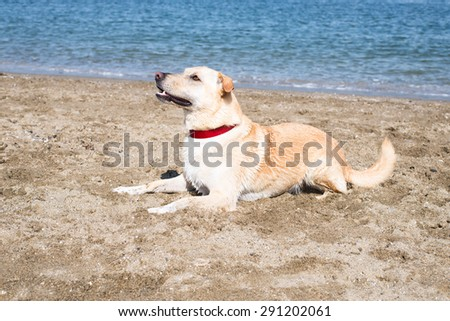portrait of a blonde, 5 year old, labrador retriever mix male dog, wearing a red collar, very focused, sitting and waiting for a commend at dog beach in Vancouver on a very sunny, summer day - stock photo