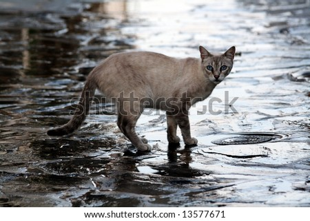 portrait of a blue eyed cat looking at you, after the rain - stock photo