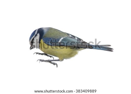 Portrait of a blue tit closeup, isolated - stock photo