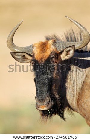 Portrait of a blue wildebeest (Connochaetes taurinus), Kalahari desert, South Africa - stock photo