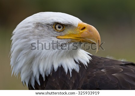 Portrait of a Bold Eagle looking to the right