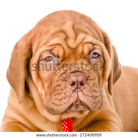 Portrait of a Bordeaux puppy closeup. isolated on white background