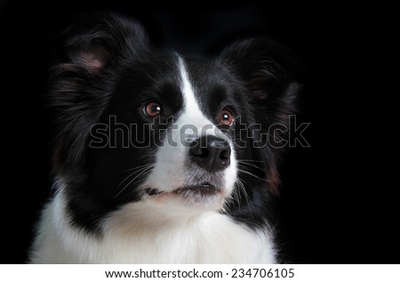 Portrait of a border collie gazing - stock photo