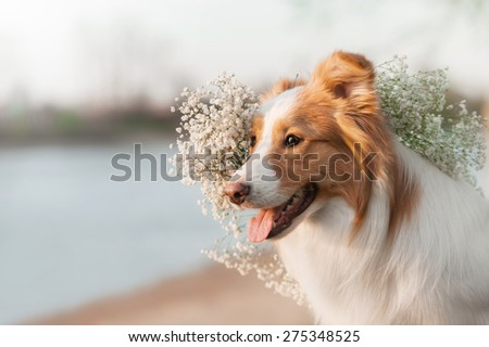 Portrait of a Border Collie wearing a crown - stock photo