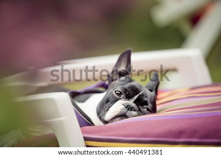 Portrait of a Boston Terrier Relaxing on Garden Chair outside in Summer - stock photo