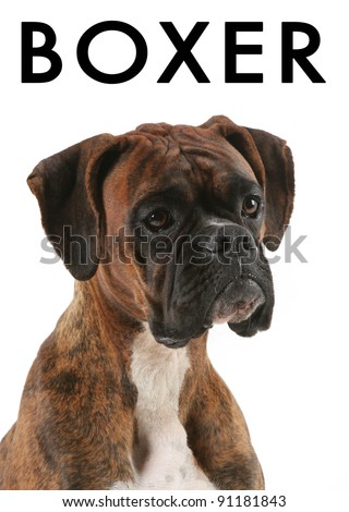 Portrait of a Boxer Dog with Text Above - stock photo