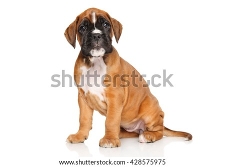Portrait of a Boxer puppy on white background
