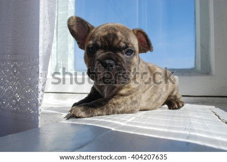 Portrait of a brindle French bulldog in the interior. - stock photo